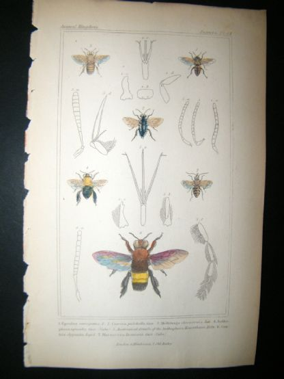 Cuvier C1835 Antique Hand Col Print. Epeolus, Cocisa, Centris, 84 Insects | Albion Prints